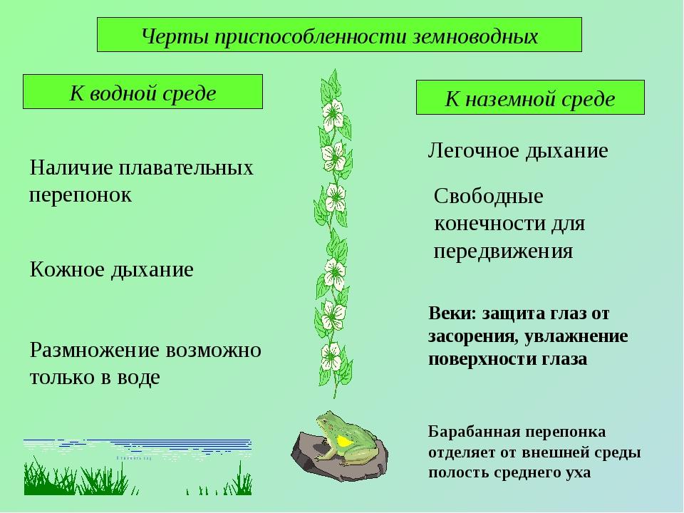 Черты приспособленности земноводных К водной среде К наземной среде Наличие п...