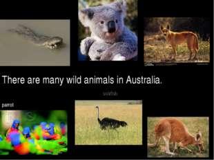 There are many wild animals in Australia. kangaroo koala dingo ostrich crocod