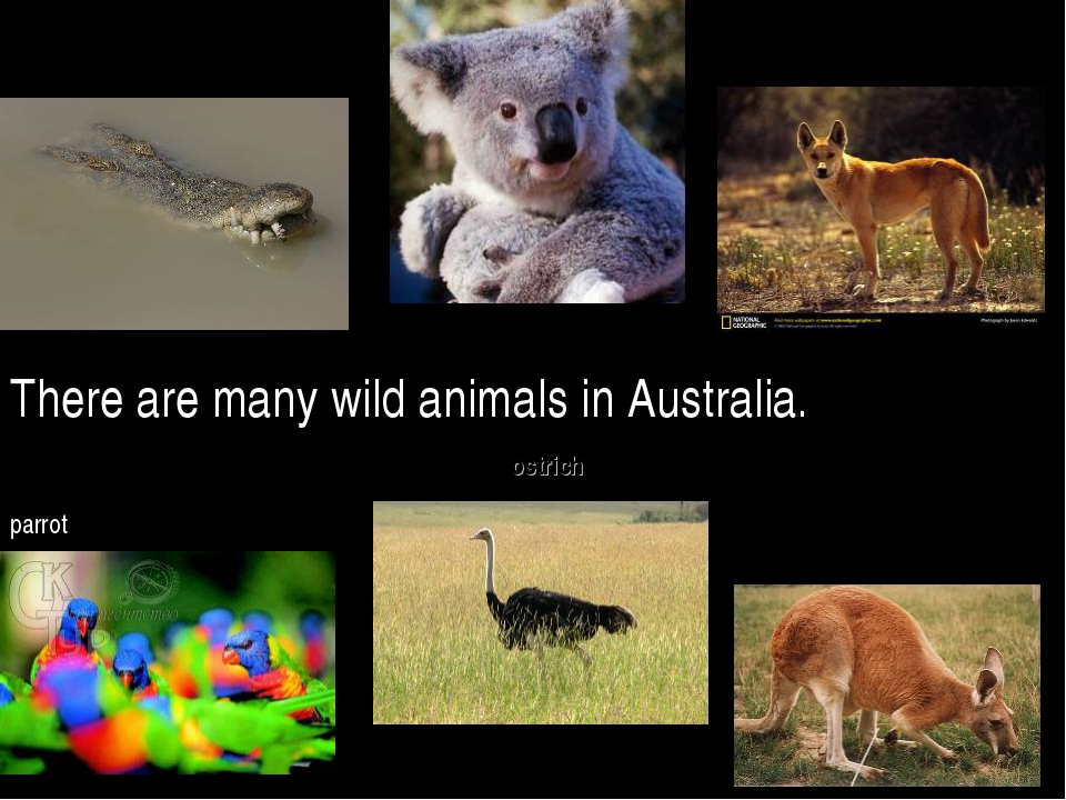 There are many wild animals in Australia. kangaroo koala dingo ostrich crocod...