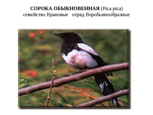 СОРОКА ОБЫКНОВЕННАЯ(Pica pica) семействоВрановые отряд Воробьинообразные