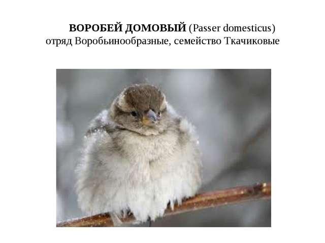 ВОРОБЕЙ ДОМОВЫЙ (Passer domesticus) отряд Воробьинообразные, семейство Ткачи...