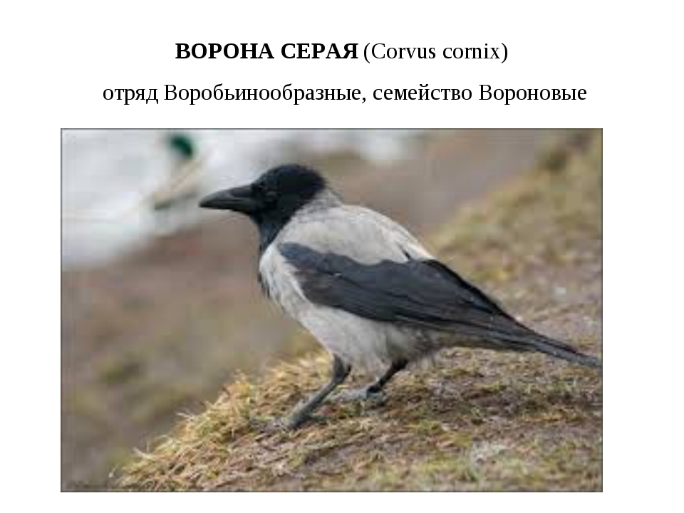 ВОРОНА СЕРАЯ (Corvuscornix) отряд Воробьинообразные, семейство Вороновые