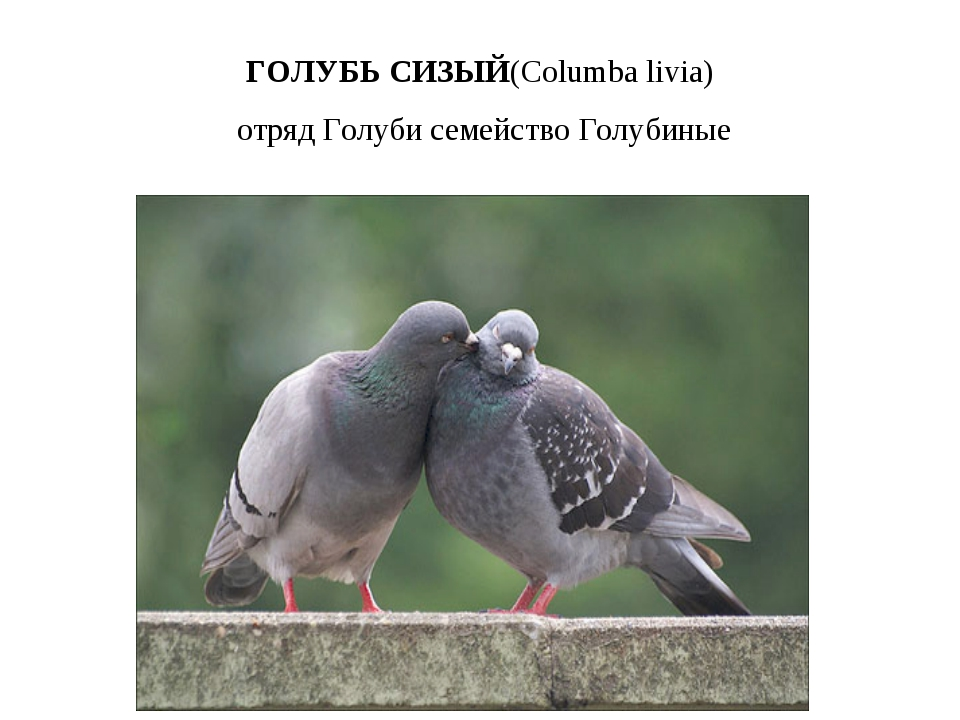 ГОЛУБЬ СИЗЫЙ(Columbalivia) отряд Голуби семейство Голубиные