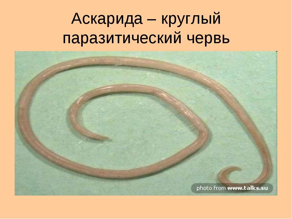 Аскарида – круглый паразитический червь