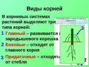 Виды корней В корневых системах растений выделяют три типа корней: Главный –