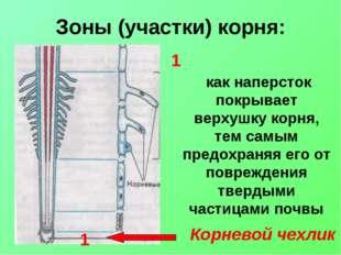 Зоны (участки) корня: Корневой чехлик как наперсток покрывает верхушку корня,