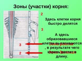 Зоны (участки) корня: Зона деления Зона роста Здесь клетки корня быстро делят