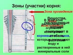 Зоны (участки) корня: Зона всасывания В этой зоне располагается огромное коли