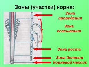 Зоны (участки) корня: Корневой чехлик Зона деления Зона роста Зона всасывания