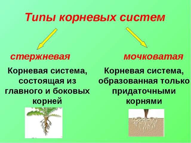 Корневая система, образованная только придаточными корнями Корневая система,...