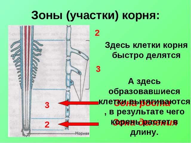 Зоны (участки) корня: Зона деления Зона роста Здесь клетки корня быстро делят...