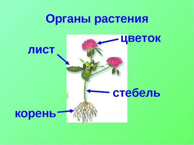 Органы растения цветок стебель лист корень