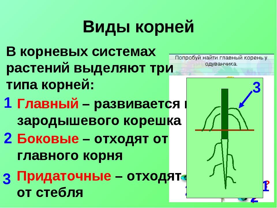 Виды корней В корневых системах растений выделяют три типа корней: Главный –...