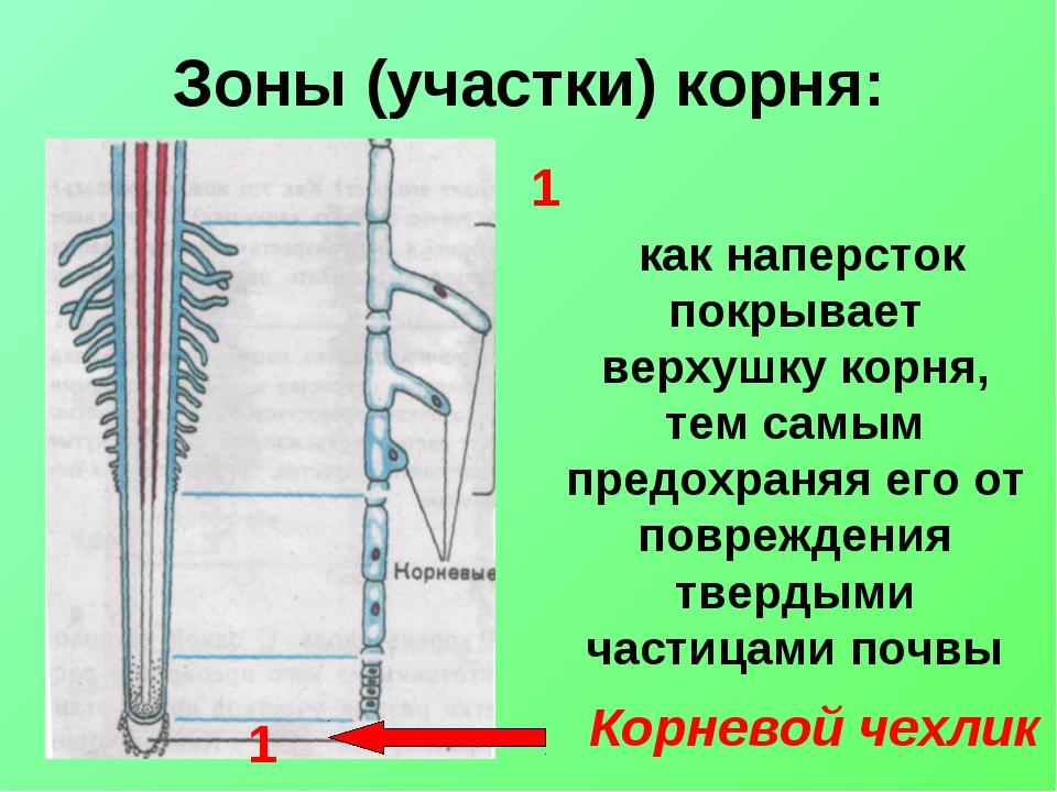 Зоны (участки) корня: Корневой чехлик как наперсток покрывает верхушку корня,...