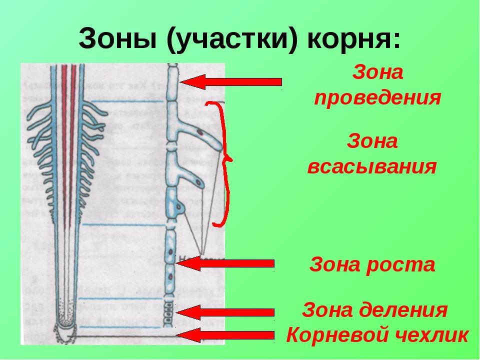 Зоны (участки) корня: Корневой чехлик Зона деления Зона роста Зона всасывания...