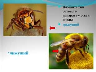 Назовите тип ротового аппарата у осы и пчелы Назовите тип ротового аппарата