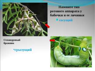 Назовите тип ротового аппарата у бабочки и ее личинки    Назовите тип ротово