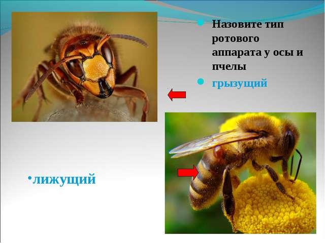 Назовите тип ротового аппарата у осы и пчелы Назовите тип ротового аппарата...