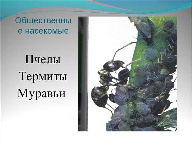 Пчелы Пчелы Термиты Муравьи
