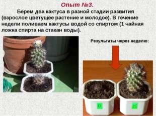 Опыт №3. Берем два кактуса в разной стадии развития (взрослое цветущее расте