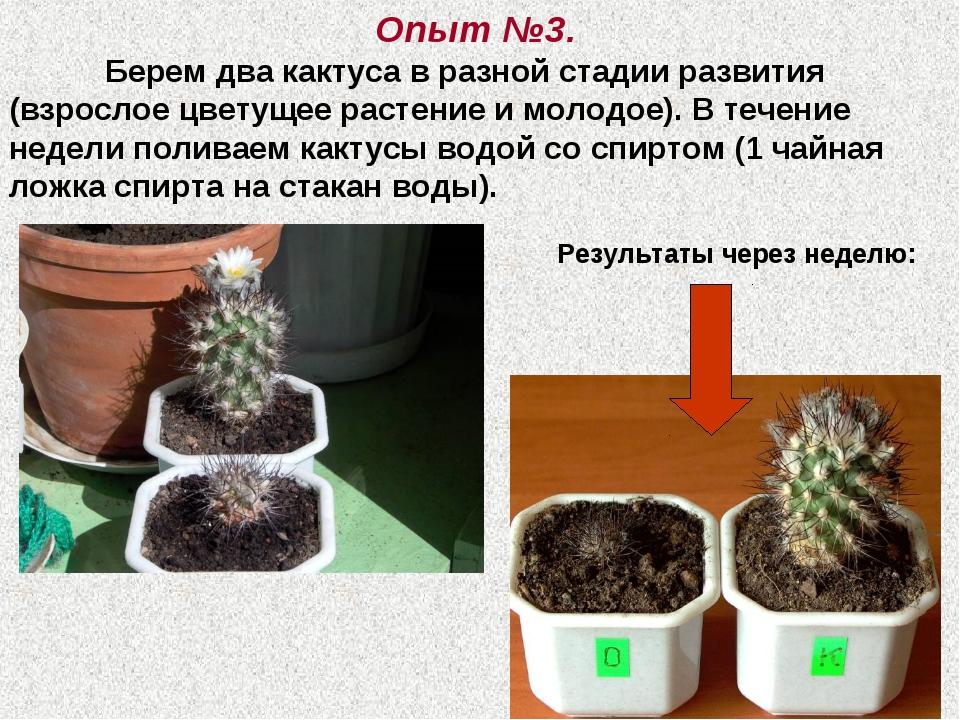 Опыт №3. Берем два кактуса в разной стадии развития (взрослое цветущее расте...