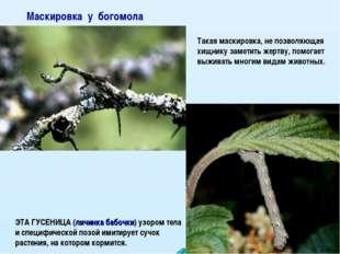 Маскировка у богомола ЭТА ГУСЕНИЦА (личинка бабочки) узором тела и специфичес