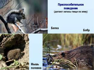 Белка Мышь полевка Бобр Приспособительное поведение (делают запасы пищи на зи