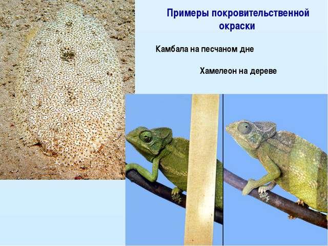Примеры покровительственной окраски Камбала на песчаном дне Хамелеон на дереве