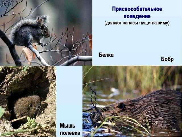 Белка Мышь полевка Бобр Приспособительное поведение (делают запасы пищи на зи...