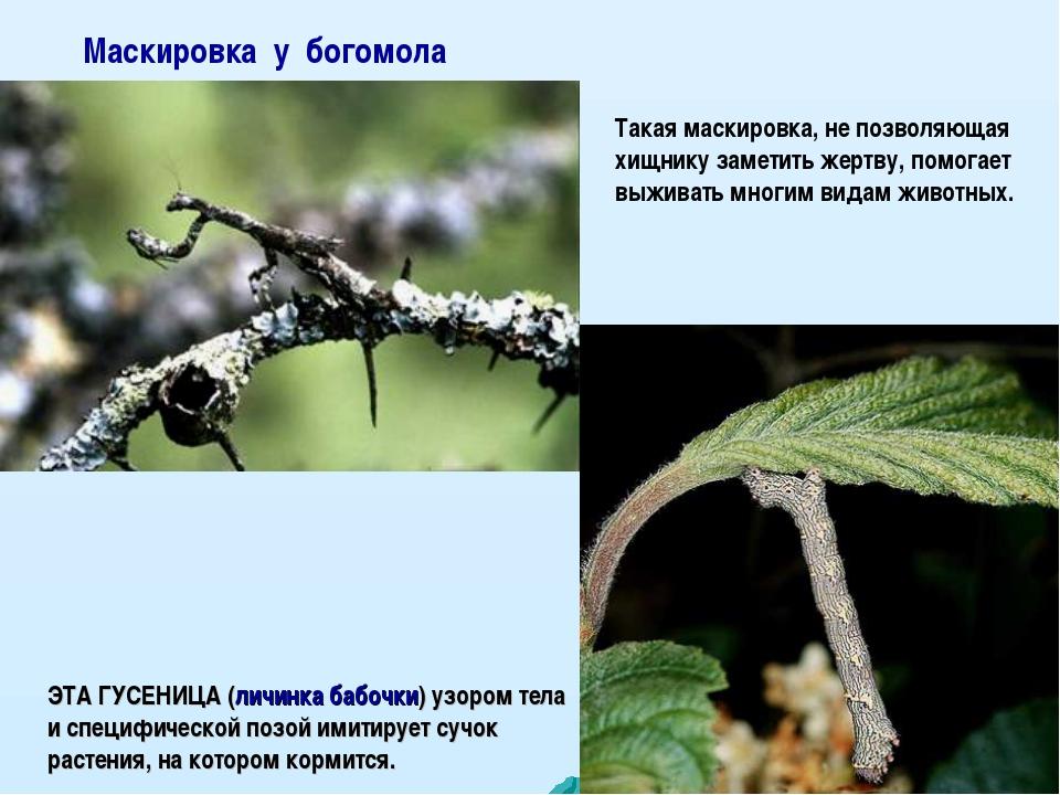Маскировка у богомола ЭТА ГУСЕНИЦА (личинка бабочки) узором тела и специфичес...