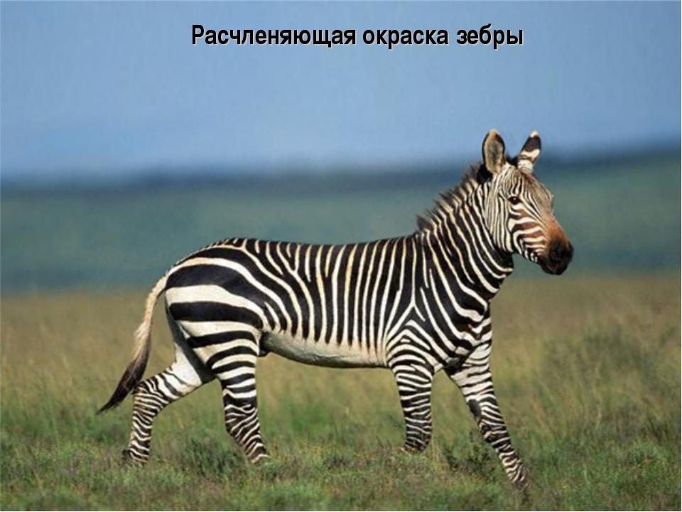 Расчленяющая окраска зебры