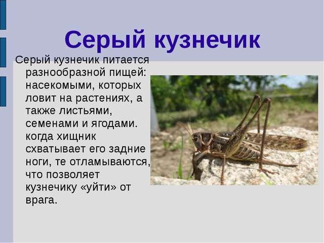 Серый кузнечик Серый кузнечик питается разнообразной пищей: насекомыми, котор...