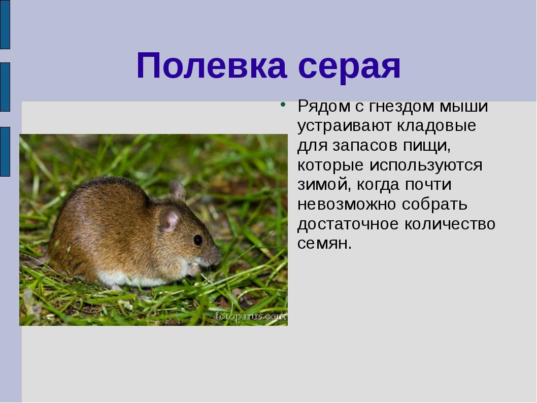 Полевка серая Рядом с гнездом мыши устраивают кладовые для запасов пищи, кото...