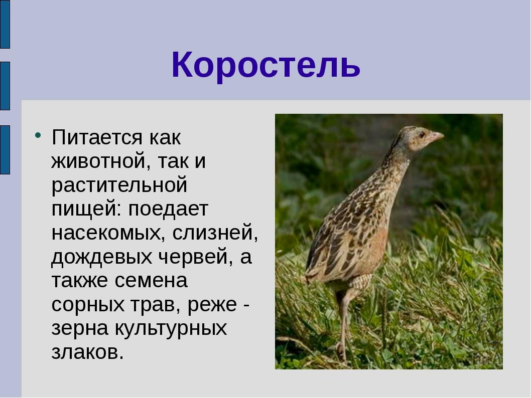 Коростель Питается как животной, так и растительной пищей: поедает насекомых,...