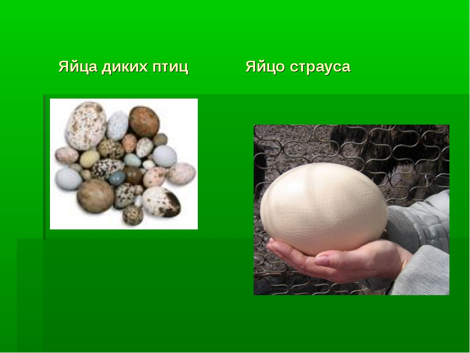 Яйца диких птиц Яйцо страуса