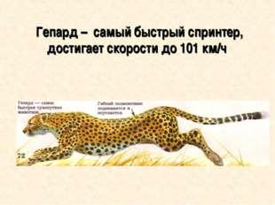 Гепард – самый быстрый спринтер, достигает скорости до 101 км/ч