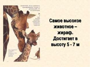 Самое высокое животное – жираф. Достигает в высоту 5 - 7 м