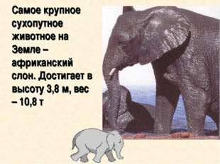 Самое крупное сухопутное животное на Земле – африканский слон. Достигает в в