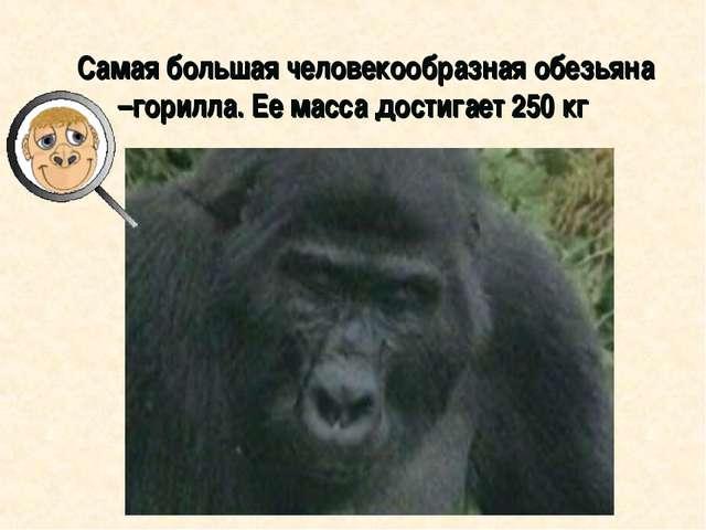 Самая большая человекообразная обезьяна –горилла. Ее масса достигает 250 кг