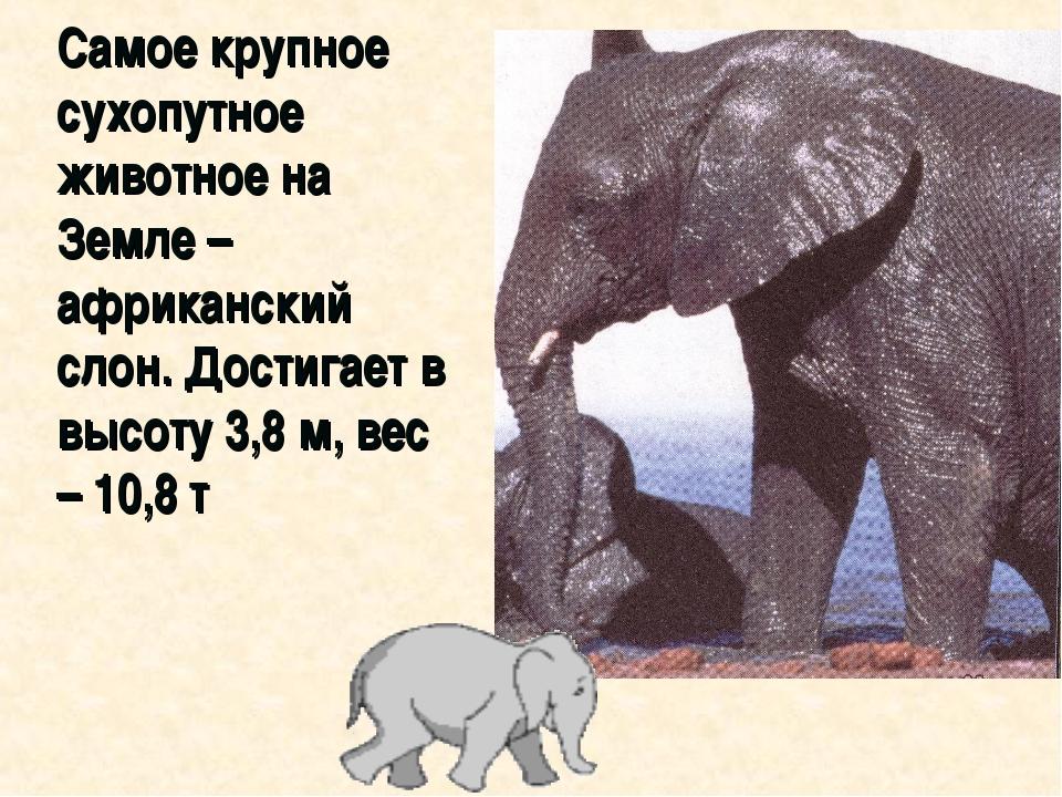 Самое крупное сухопутное животное на Земле – африканский слон. Достигает в в...