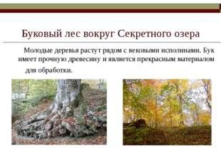 Буковый лес вокруг Секретного озера Молодые деревья растут рядом с вековыми