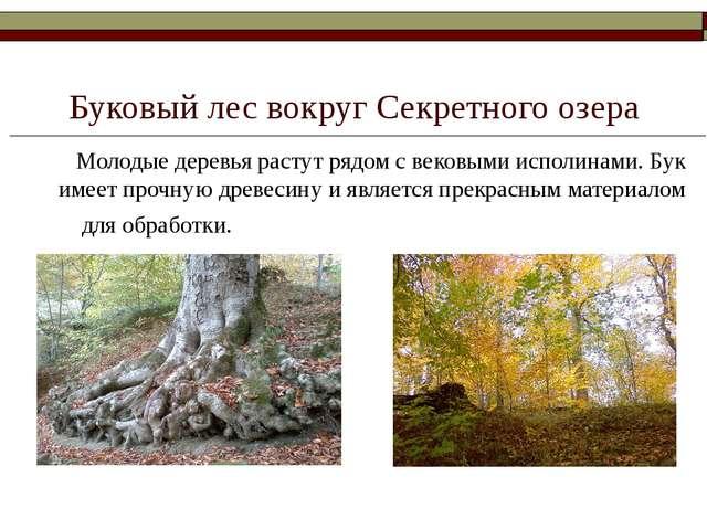 Буковый лес вокруг Секретного озера Молодые деревья растут рядом с вековыми...