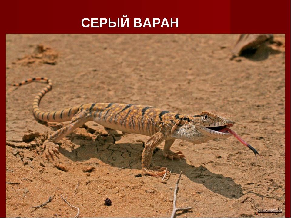 СЕРЫЙ ВАРАН