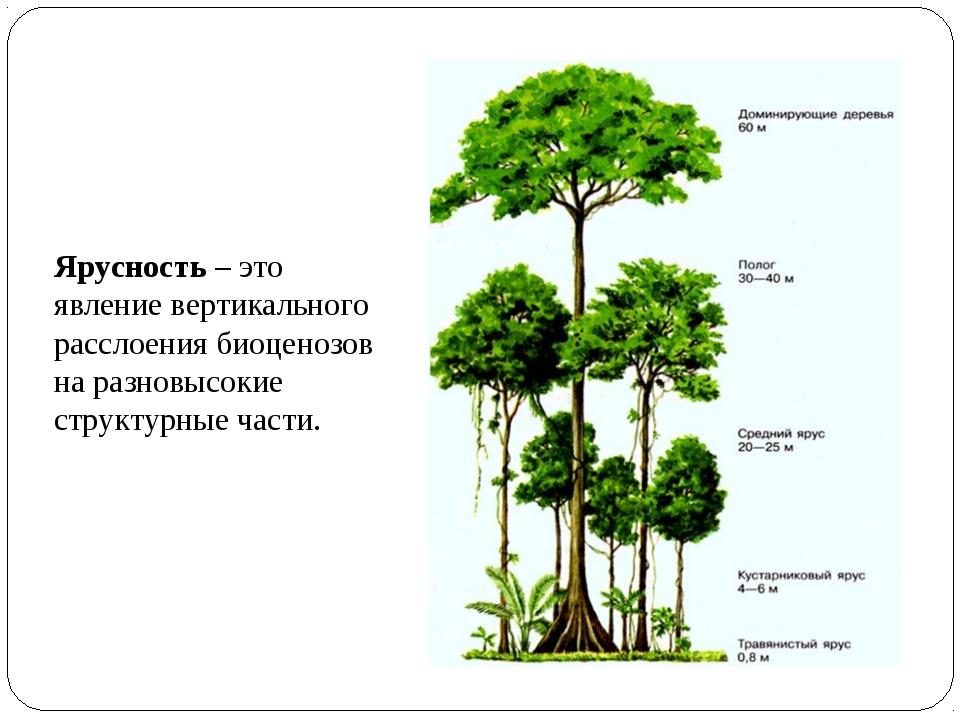 Ярусность – это явление вертикального расслоения биоценозов на разновысокие с...