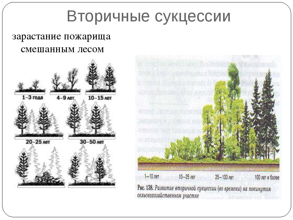 Вторичные сукцессии зарастание пожарища смешанным лесом