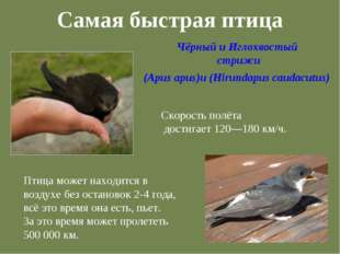 Самая быстрая птица Чёрный и Иглохвостый стрижи (Apus apus)и (Hirundapus caud