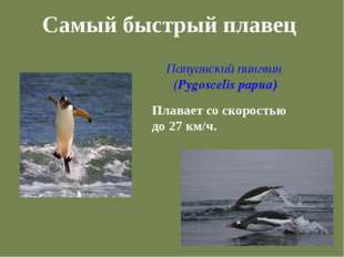 Самый быстрый плавец Папуанский пингвин (Pygoscelis papua) Плавает со скорост