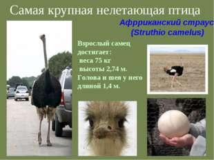 Самая крупная нелетающая птица Взрослый самец достигает: веса 75 кг высоты 2,