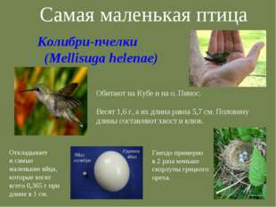 Самая маленькая птица Обитают на Кубе и на о. Пинос. Весят 1,6 г, а их длина