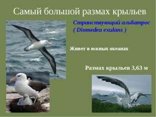 Самый большой размах крыльев Странствующий альбатрос ( Diomedea exulans ) Жив
